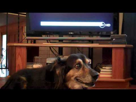 Dog sings theme song from Law & Order