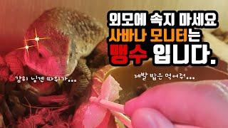 [#파충류]-#사바나모니터_성질 고약한 사바나모니터 밥…