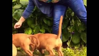 Продаются щенки бордоского дога (французского мастифа)
