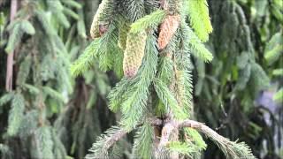 Хвойные растения:  выбор и советы по уходу(Хвойные - обязательный элемент любого сада. Специалист Садового центра