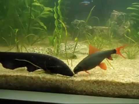 Biggest Black Ghost Knife Fish Eating...