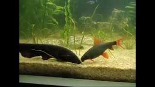 Biggest black ghost knife fish eating...