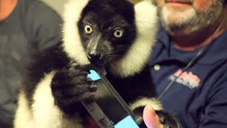 Maui the Lemur stops by the 790 Studios