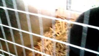 7 jesienna wystawa królików,gołębi i drobiu ozdobnego w Opolu