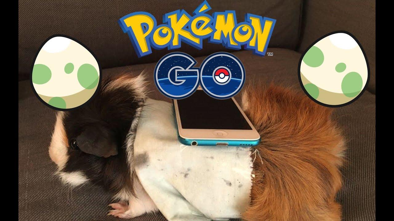 Mon cochon d 39 inde en incubateur 3000 pokemon go astuce - Cochon pokemon ...