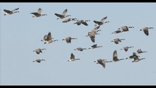 Hired to Hunt Season 4 #3:  Only Time Will Tell.  Goose and Duck Hunting.  Limit Hunts in Alberta