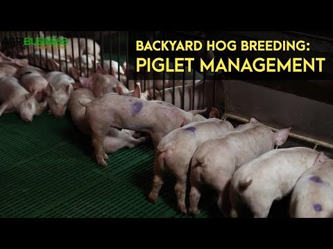 Backyard Hog Breeding: Piglet Management - Weaning | Agribusiness B-MEG Episode 11
