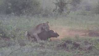 Lioness kills warthog | Kruger National Park