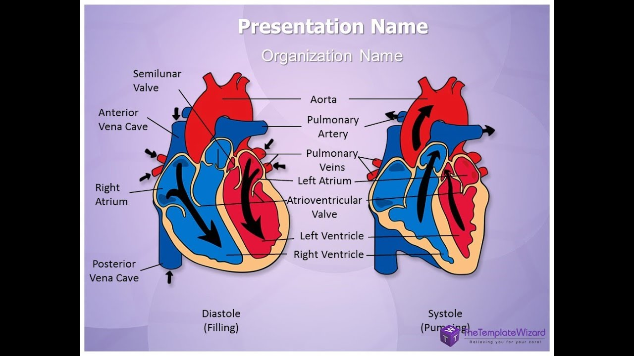Heart Diastole and Systole PowerPoint Template - TheTemplateWizard ...