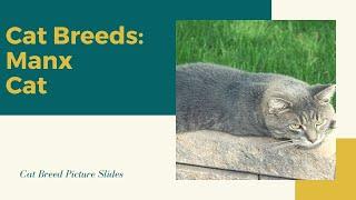Manx Slides  Cat Breeds