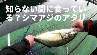 海上釣り堀の高級魚シマアジを脈釣りで釣るときのアタリ、アワセのタイミングや意識してることを動画にしました。 釣れるときは釣れるのでこ...