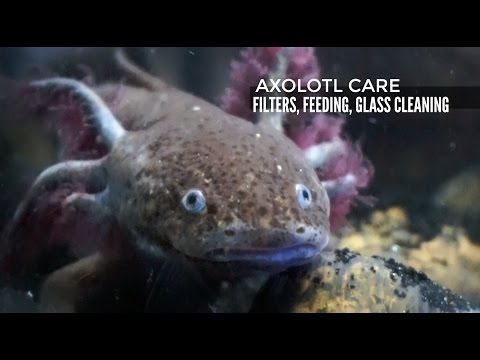 AXOLOTL CARE: Filtration, Feeding, and Glass Cleaning