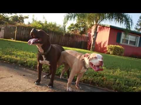 Pitbull Puppies 🐶Coming Soon