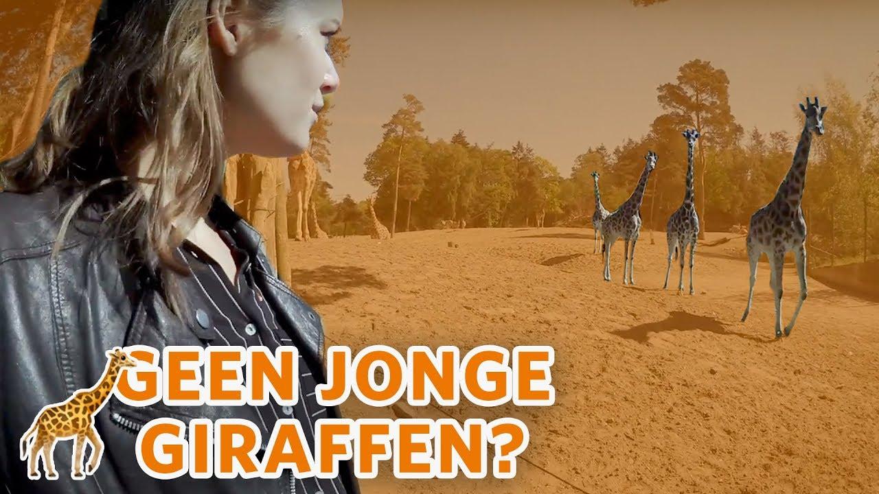 🦒 Waarom zijn er geen JONGE GIRAFFEN? 🦒