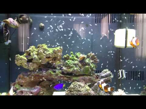 Feeding Clowns Brine Shrimp