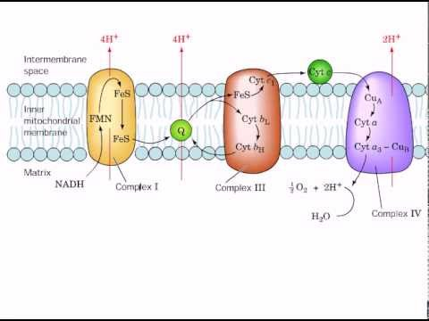 Electron Transport Chain Diagram For Dummies Fender Strat Sss Wiring The Mitochondrial Youtube