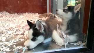 Cute Siberian Husky Puppies At Pet Store