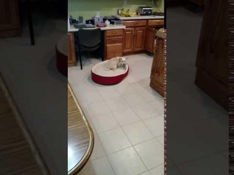 11 Week Old Tibetan Terrier Knows Bed