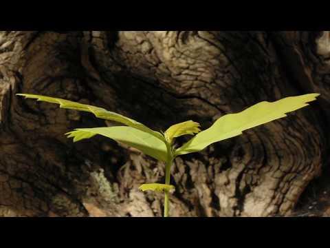 La naissance d'un chêne