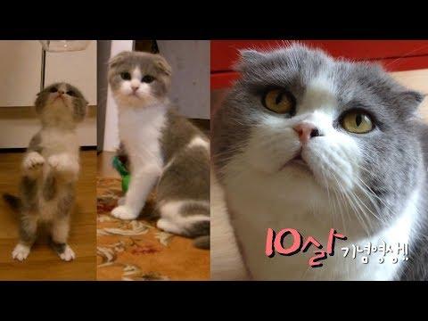 🐾쇼렐-10살-기념영상🐾-아기고양이가-곰고양이가-되기까지!-스코티쉬폴드-성장기