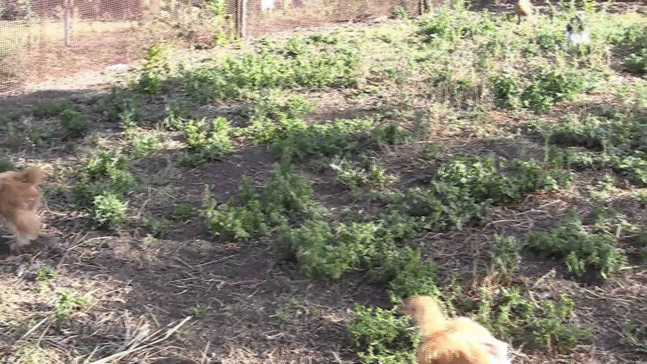 5 апр 2011. Цыплята и куры несушки у меня в хозяйстве. Обсуждение много фоток и другое видео здесь http://fermer. Ru/node/114804.