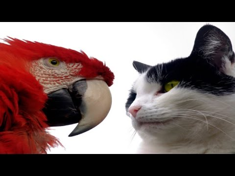 Funny Parrots Annoying Cats 2014 [NEW HD]