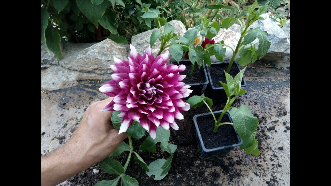 How To Grow Dahlia From Cuttings The Easy Way Youtube