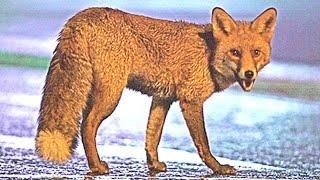 Cat vs Fox 😸 Kот против Лисы 🐈 Katze gegen Fuchs 😼 Fight Ссора Streit 2016.