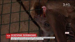 В Одесі народилися диво собаки, популярність яких постійно зростає