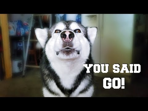 Malamute Argues With Owner | He Insists I Said Go But I Said No