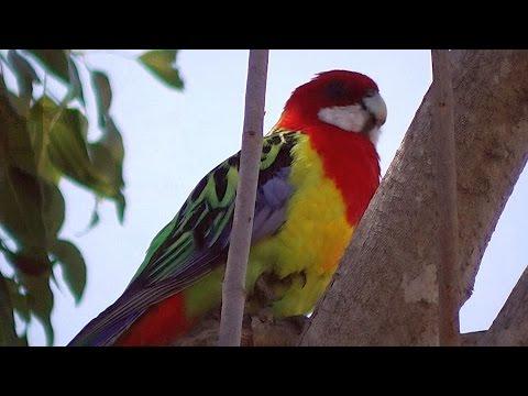 Pretty Rosella Parrot   (•▽•) ❧