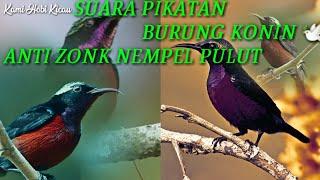 Download Lagu SUARA PIKAT BURUNG KONIN LIAR DI JAMIN AMPUH ANTI ZONK NEMPEL PULUT - Terbaru 2020 Suara Mikat Konin mp3