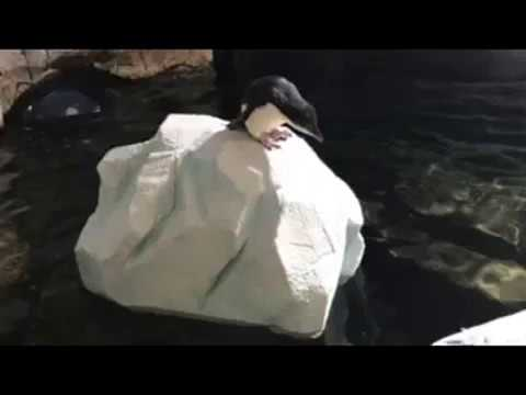 Antarctic Penguins :: Iceberg