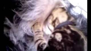 Kitten suckling from MALE dog!!