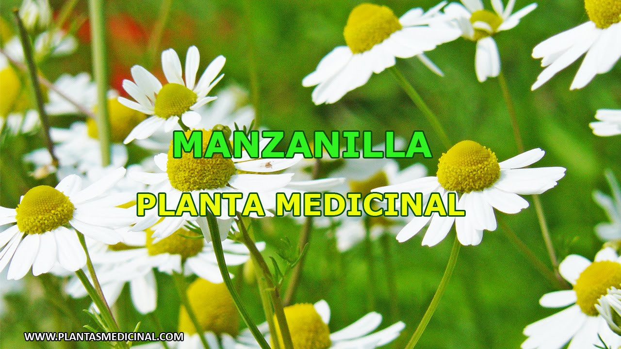 La manzanilla propiedades y beneficios medicinales youtube for Planta decorativa con propiedades medicinales