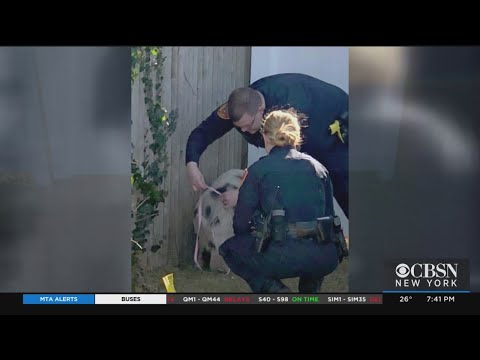 Suffolk County Officers Help Catch 3 Pigs On Sunrise Highway