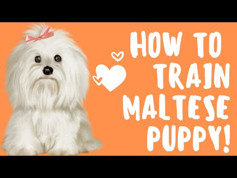 free maltese puppies how to train a maltese puppy easy free mini course 1317