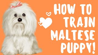 * How To Train A Maltese Puppy. Easy!