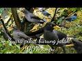 Suara Pikat Burung Jalak  Mp3 - Mp4 Download