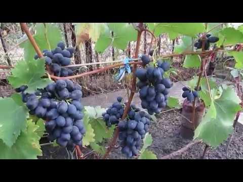 8 сентября 2018 года. Виноград сорта Чарли...