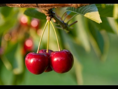 How To Grow Cherry Trees Complete Growing Guide Youtube