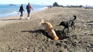 Oggy, The Golden Retriever, Digs A Beach Foxhole