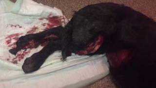 5км-щенок, открытый перелом голени, ушиб грудной клетки.
