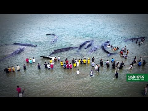 Indonesian locals battle to free beached whales