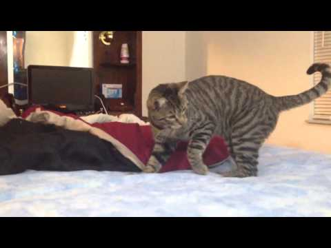 Cat confused by waterbed