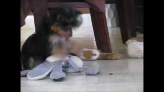 """Darla The Teacup Yorkie Yorkshire Terrier 10 Weeks Old Puppy Eating """"moderate Dog Maniac .com"""""""