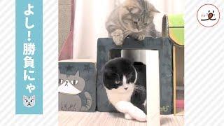 勝負にゃ!ニャンコ2匹の熱い棒倒しバトル😾🔥【PECO TV】 thumbnail