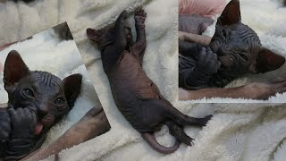 The Absolute cute kitten cleaning themself for the firs time / 24 days old / DonSphynx