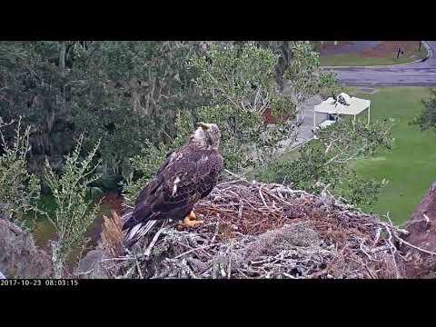 Subadult Bald Eagle Visits Savannah Nest – Oct. 23, 2017