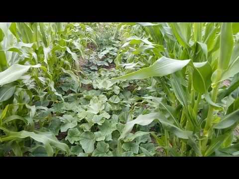 Вопрос: На каком минимальном расстоянии от кукурузы можно сажать кабачки?